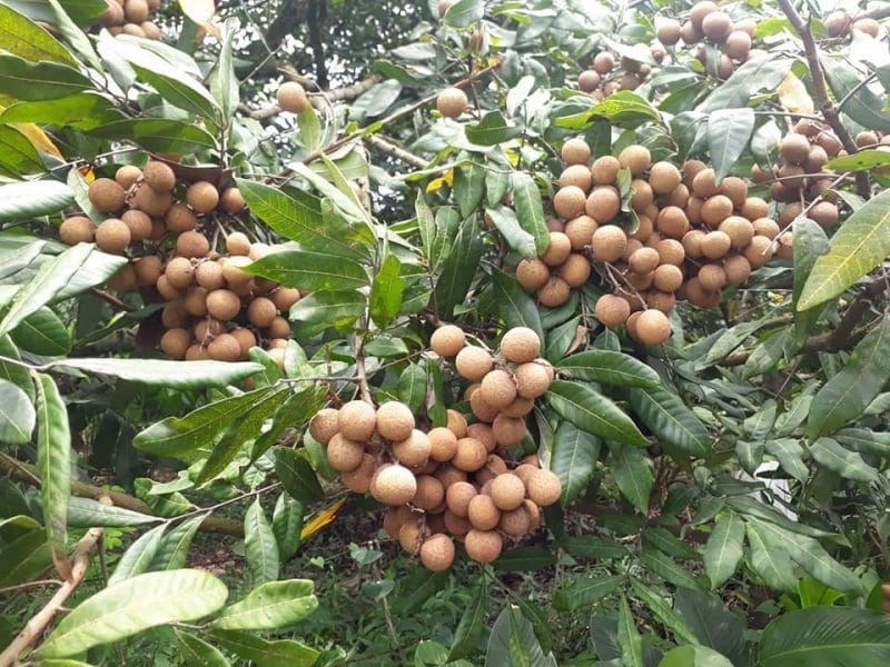 longan fruit fresh in tree
