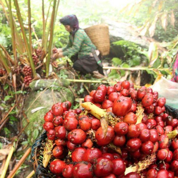 vietnam cardamon harvest