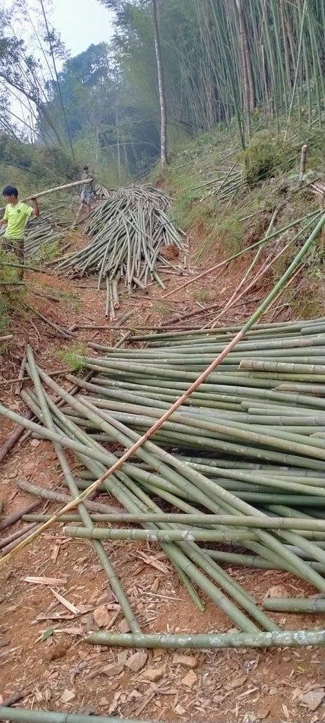 exploting bamboo